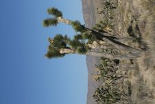Joshua Trees In Mojave Desert, California Stock Photo