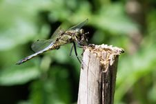 Free Young Black-lined Skimmer Royalty Free Stock Photos - 10225748