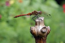 Free Yellow-winged Darter Royalty Free Stock Photos - 10225768