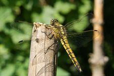 Free Black-lined Skimmer Royalty Free Stock Images - 10225819