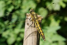 Free Black-lined Skimmer Royalty Free Stock Photo - 10225845