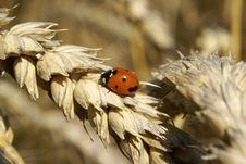 Free Ladybug On Barley Royalty Free Stock Images - 10225859