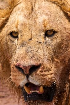 Free Male Lion Closeup Of The Head Royalty Free Stock Photo - 10226215