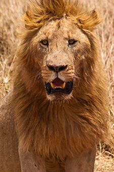 Free Male Lion Closeup Of The Head Stock Photography - 10226272