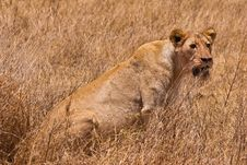 Free Female Lion Sitting In The Grass Royalty Free Stock Photo - 10226285