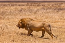 Free Male Lion Walking In The Grass Royalty Free Stock Photo - 10226345