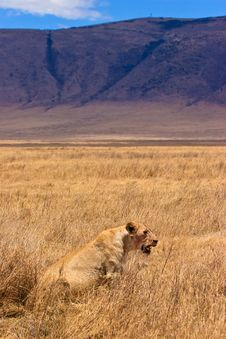 Female Lion Sitting In The Dry Yellow Grass Royalty Free Stock Photo
