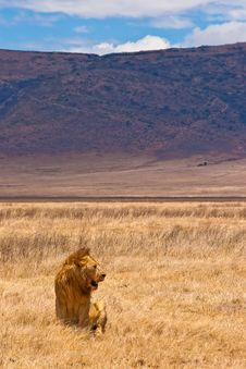 Free Male Lion Sitting In The Grass Royalty Free Stock Photo - 10226455