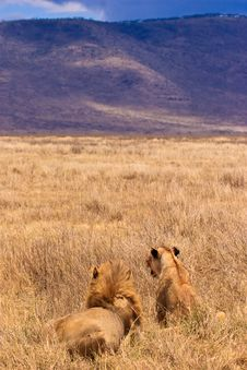 Male And Female Lion Sitting In The Grass Stock Image