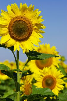 Free Sunflowers Stock Photography - 10226612