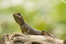 Free Garden Lizard Royalty Free Stock Images - 10227109