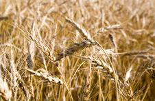 Free Gold Wheat Stock Image - 10227631