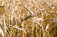 Gold Wheat Stock Image