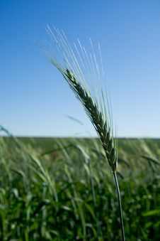 Free Isolated Wheat Head In  A Field Stock Photo - 10229060