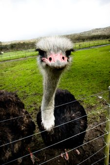 Free Grumpy Ostrich Royalty Free Stock Photography - 10229077