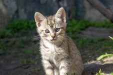 Free Cute Grey Kitten Stock Photography - 102257462