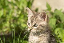 Free Cute Grey Kitten Royalty Free Stock Images - 102257479