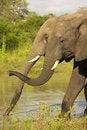 Free Two Large Elephants Royalty Free Stock Image - 10236946
