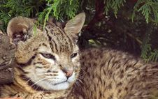 Free Geoffroy S Cat Royalty Free Stock Photo - 10231425