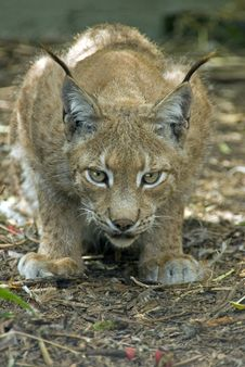 Free Northern Lynx Stock Images - 10231434