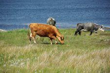 Free Irish Cows Stock Image - 10231731