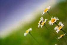 Free White Daisies On Green And Blue Background Royalty Free Stock Photography - 10232127