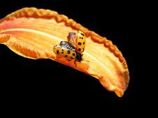 Free Ladybug On Lily Royalty Free Stock Photo - 10232325