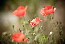 Free The Poppy In Bloom Royalty Free Stock Photos - 10232388