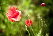 Free The Poppy In Bloom 2 Royalty Free Stock Photo - 10232435