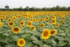 Free Sunflower Field Stock Images - 10233394