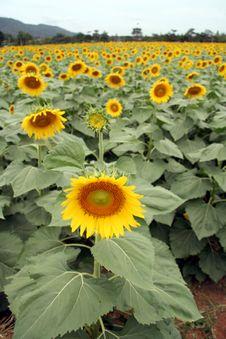 Free Sunflower Field Stock Photography - 10233402