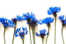 Free Cornflowers Stock Photography - 10233842