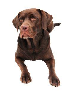 Free Labrador Stock Image - 10234861