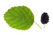 Free Mulberry And Green Lea Royalty Free Stock Photos - 10236768