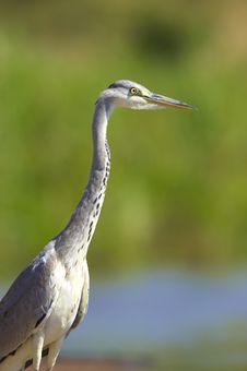 Free Grey Heron Bird Royalty Free Stock Photos - 10236938