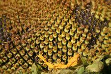 Free Sunflower Macro Stock Images - 10237994