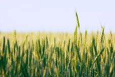 Free Green Wheat Field Royalty Free Stock Photo - 10238045
