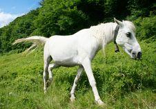 Free White Horse Royalty Free Stock Photos - 10239638