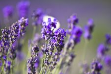 Free Lavender Field Stock Photography - 10239772