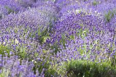 Free Lavender Field Stock Images - 10239944
