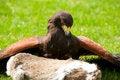 Free A Buzzard Stock Photos - 10241693