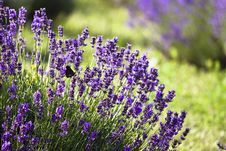 Free Lavender Field Stock Photos - 10240043