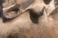 Free Camel Skin Stock Image - 10240421