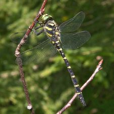 Free Dragonfly Royalty Free Stock Images - 10240799