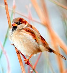 Free Just Sparrow Royalty Free Stock Images - 10240979
