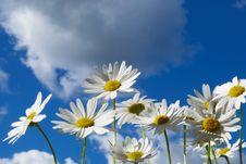 Free Daisy Stock Photo - 10243930
