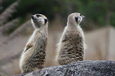 Free Meerkats Stock Images - 10248154