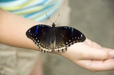 Large Butterfly Resting On Girls Arm Royalty Free Stock Photo