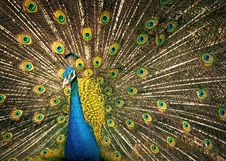 Free Peafowl, Vertebrate, Galliformes, Feather Stock Image - 102480311