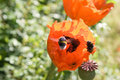 Free Bumblebees And Poppy Flowers Royalty Free Stock Images - 10250609